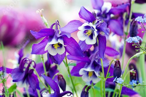 Frühlings-Schönheiten: Violette Akeleien :) Fototapeta