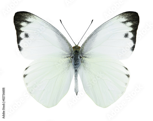 Poster Vlinder Butterfly Appias paulina (male)