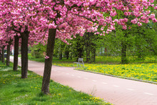 Spring Blooming Pink Trees In City Park