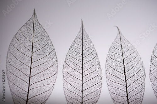 Poster Squelette décoratif de lame Skeleton leaves on grey background, close up