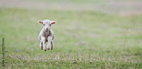cute lambs on field in spring
