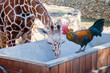 Rooster and giraffe drinking together