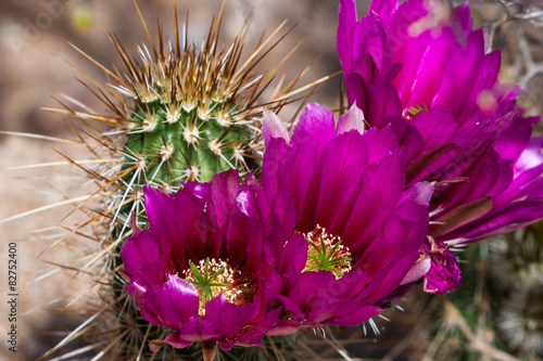 Spoed Foto op Canvas Arizona Blooming desert cactus