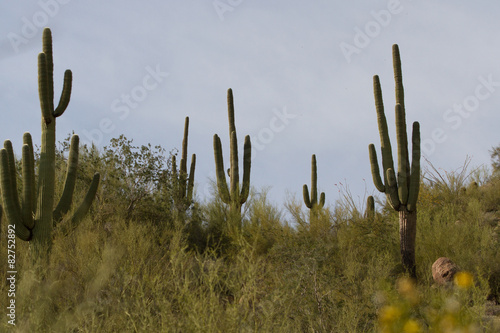 Papiers peints Cactus Saguaro cactus