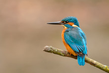 Common Kingfisher (Alcedo Atthis) Perching On A Branch.