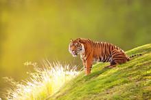 Sumatran Tiger On Hillside In Morning Light
