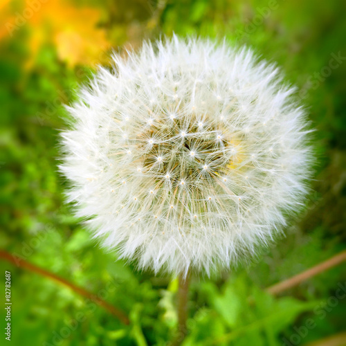 Fine grown dandelion seed head