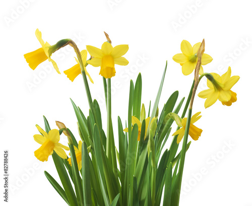 In de dag Narcis Beautiful fresh narcissus flowers, isolated on white background