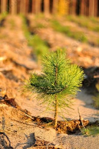 Obraz Młoda sosna, szkółka leśna - fototapety do salonu