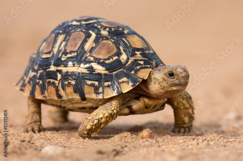 Poster Leopard Leopard tortoise walking slowly on sand with protective shell