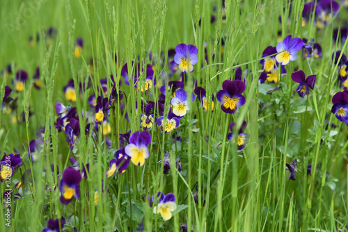 Immagini Fiori Violette.Viole Violette Fiori Giardino Buy This Stock Photo And Explore
