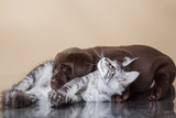 Leżące mały Labrador i kotek