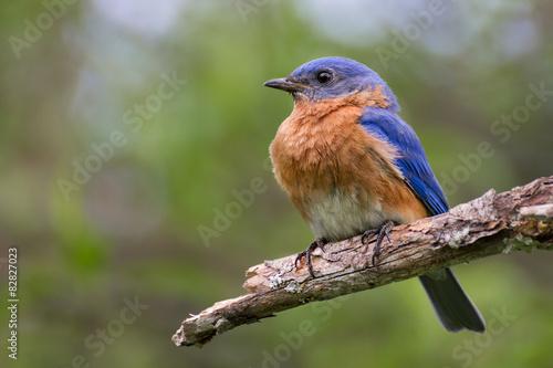 Eastern Bluebird Fototapet