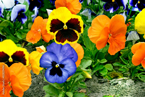 In de dag Pansies pansy flowers