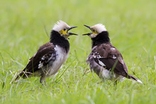 Two Black-collared Starling Singing
