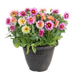 Dahlia Flower in Pot