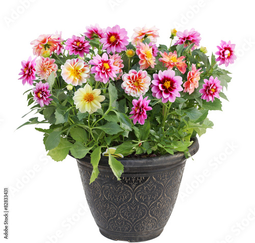 Tablou Canvas Dahlia Flower in Pot