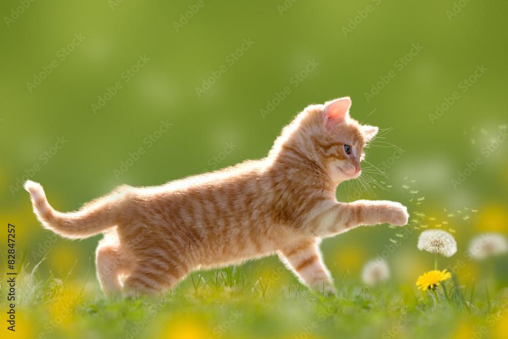 Fototapeta Junge Katze spielt mit Pusteblume/Löwenzahn