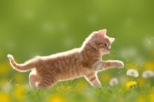 Junge Katze Spielt Mit Pustebl...