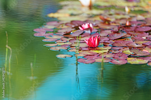 Photo  Red waterlily in garden pond horizontal