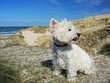 West Highland White Terrier in den Dünen am Meer