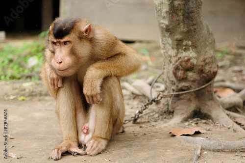 In de dag Wild monkey enchain to the tree