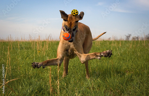 Photo  Silly great Dane missing two balls in green field