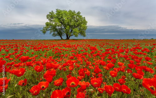 lonely tree in a poppy field