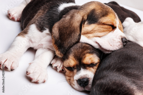 Beagle Puppies, slipping in front of white background © master1305