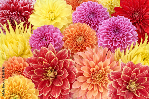 Canvas-taulu Different types of dahlias. Colorful floral summer background