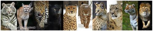Poster Puma animals collage