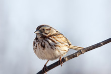 Song Sparrow On Branch