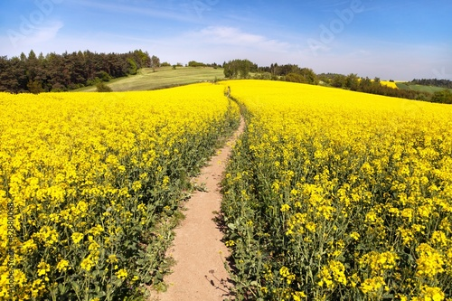 Aluminium Prints Yellow field of rapeseed (brassica napus) with rural road