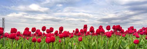 Tulpen - 82884041