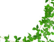 Green leaf ivy plant isolated on white background