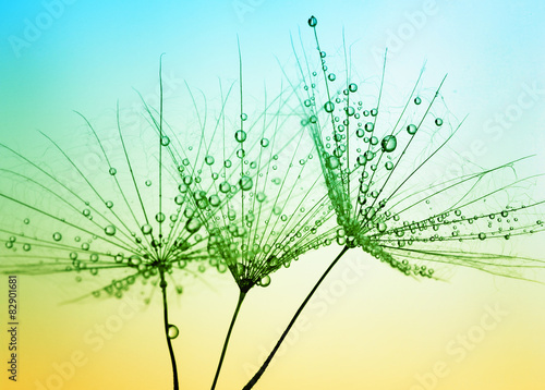 Fototapety, obrazy: Dandelion seed