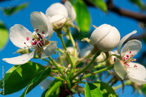 Photo Stands Roe Flowering tree