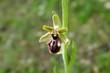 Schwarze Ragwurz Orchidee