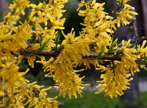 forsythia bush blossoming Fototapeta