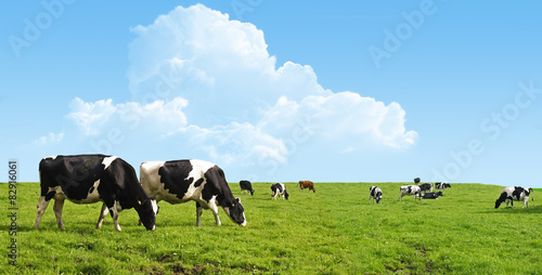 Cows grazing on a green field. Fotobehang