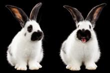 Two White Rabbit