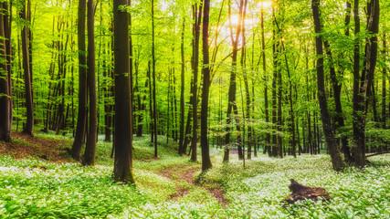 FototapetaFresh green Spring Forest in Franconia, Germany