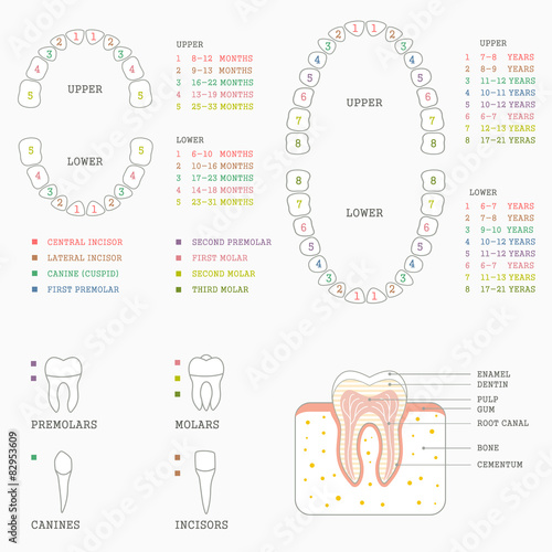 human tooth anatomy chart, diagram teeth illustration - Buy this ...
