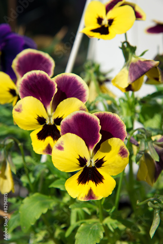 Fototapety, obrazy: Viola tricolor flowers
