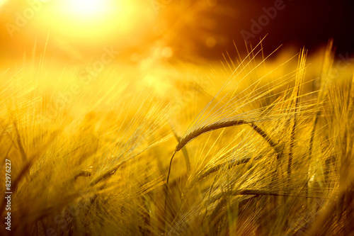 Barley field in golden glow of evening sun Fototapete