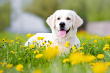 Golden Retriever Dog Lying Down Outdoors
