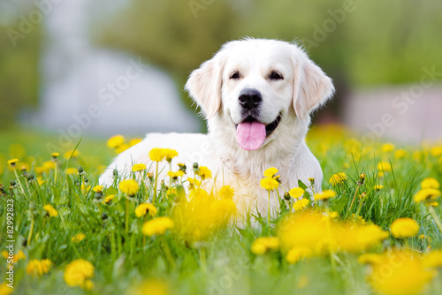 golden retriever dog lying down outdoors Canvas