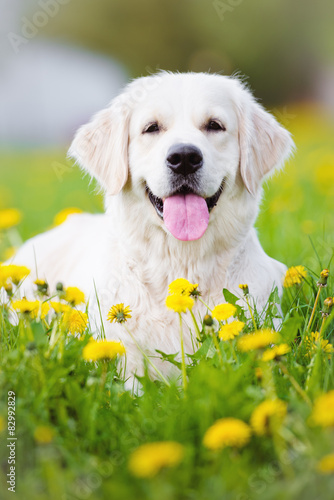 Cuadros en Lienzo golden retriever dog portrait