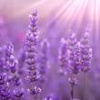 canvas print picture Lavender