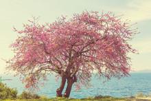Blossom Redbud